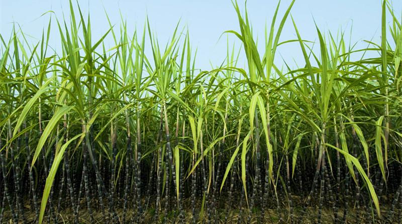 Vietnam Sugarcane Plant