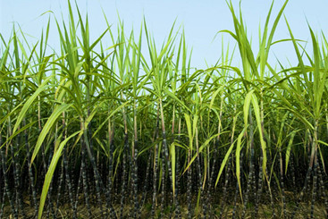 Vietnam Sugarcane